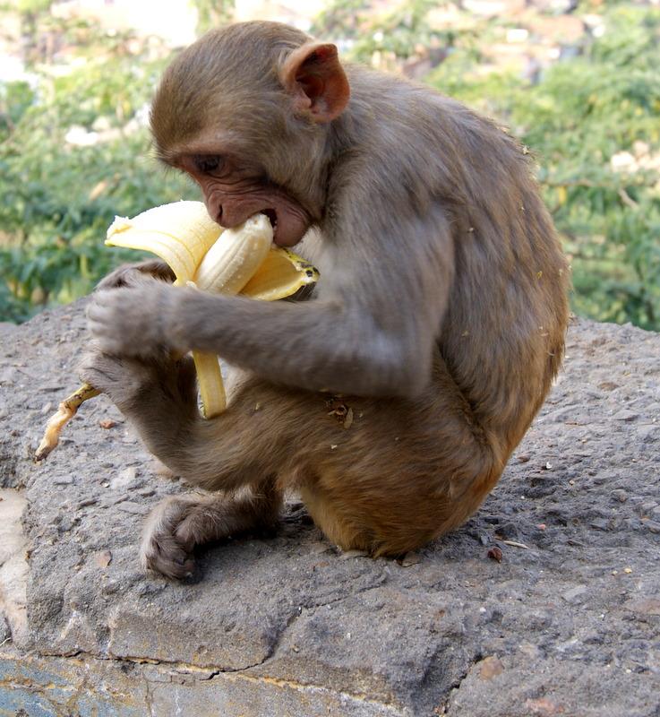 обезьяна с бананами в картинках того